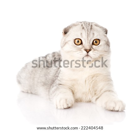 surprised lop-eared scottish cat looking at camera. isolated on white background - stock photo