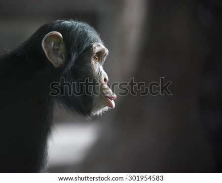 Surprised monkey. Chimpanzee's funny face, shot with selective focus and copy space