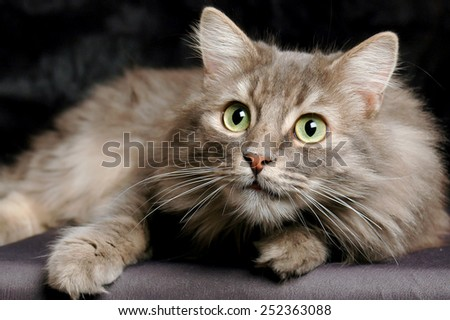 Surprised Siberian cat - stock photo
