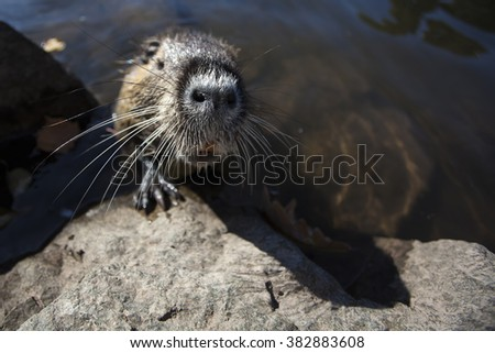 Surprising meeting face to face with coypu with large teeth and long whiskers. Wildlife close-up photography.