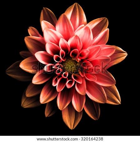 Surreal dark chrome red and orange flower dahlia macro isolated on black - stock photo