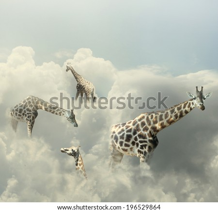 Surreal image representing four giraffe walking in the clouds  - stock photo