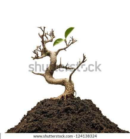 Survivor tree on white background - stock photo