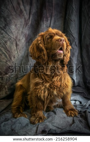 Sussex Spaniel - stock photo