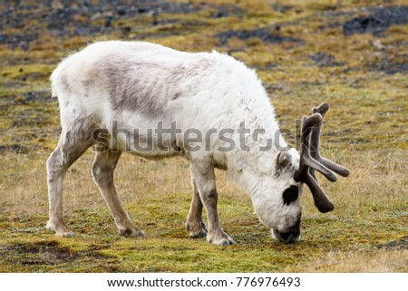 Svalbard reindeer on the grass in Spitzbergen