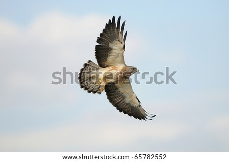 Swainson's Hawk in flight with a blue sky background