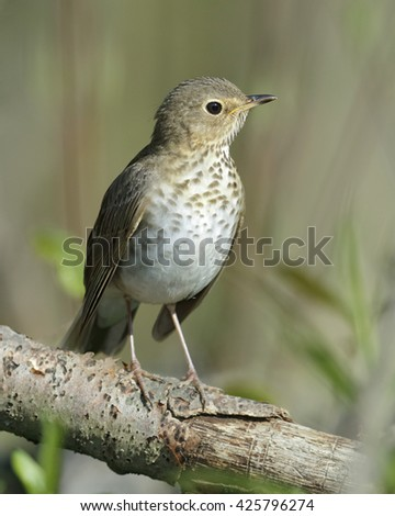 Swainson's Thrush (Catharus ustulatus) Perched in a Tree in Spring - Ontario, Canada - stock photo