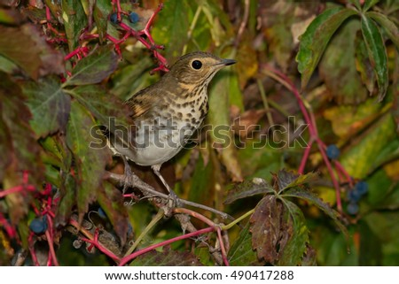 Swainson's Thrush perched in a berry bush.