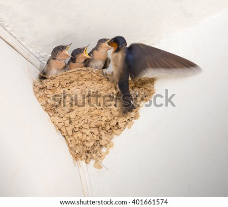 Swallow and baby birds in nest. - stock photo