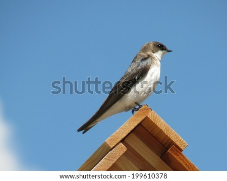 swallow bird perched on birdhouse     - stock photo
