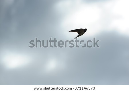 Swallow Flying in the Sky