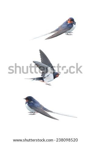 Swallow, Hirundo rustica, on a white background - stock photo