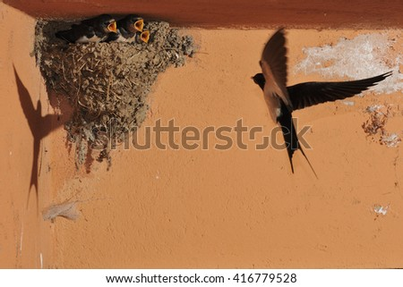 Swallow in flight arriving to the nest with nestlings waiting - stock photo
