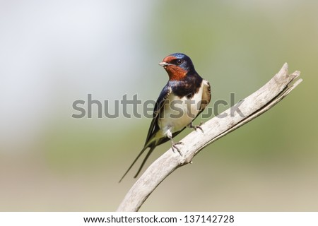 Swallow on a branch. ( Hirundo rustica) - stock photo
