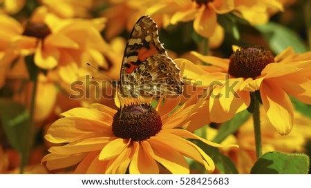 Swallow's tail butterfly on yellow flower