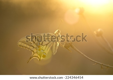 swallow tail butterfly at the sunset fire colors -  lens flare - stock photo