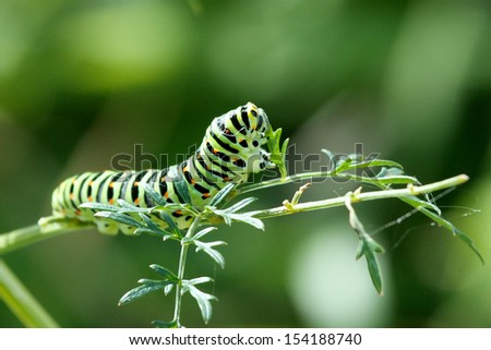 Swallow Tail Butterfly Caterpillar - stock photo