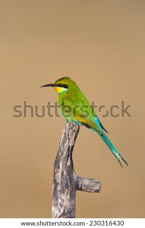 Swallow tailed Bee-eater (Merops hirundineus) perched on a dead branch, against a plain, natural background, South Africa - stock photo