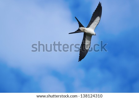 Swallow-tailed Kite flying high in the blue sky.