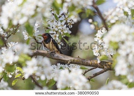 swallow the white flowers, bird on a branch - stock photo