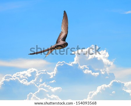 Swallows in flight with outspread wings on sky - stock photo