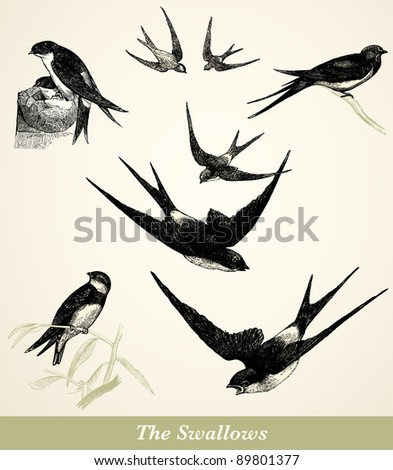 "Swallows - vintage engraved illustration - ""Cent récits d'histoire naturelle"" by C.Delon published in 1889 France - stock photo"