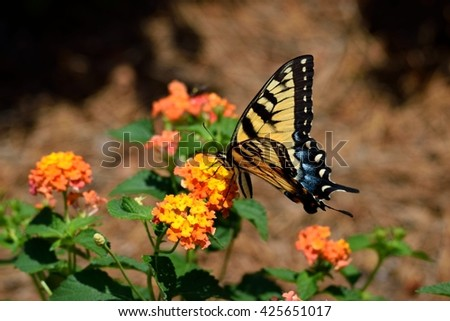 Swallowtail Butterfly on top of Lantana Flowers