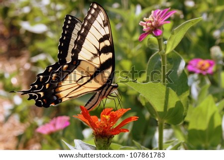 swallowtail butterfly on zinnia