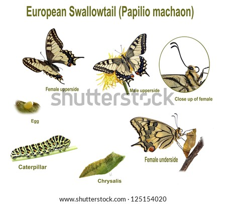 Swallowtail life cycle. Swallowtail life cycle. The lifecycle of the swallowtail (Papilio machaon) showing male and female and all instars. - stock photo
