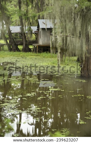 Swamp bayou scene of the American South featuring bald cypress trees with green water in Caddo Lake Texas