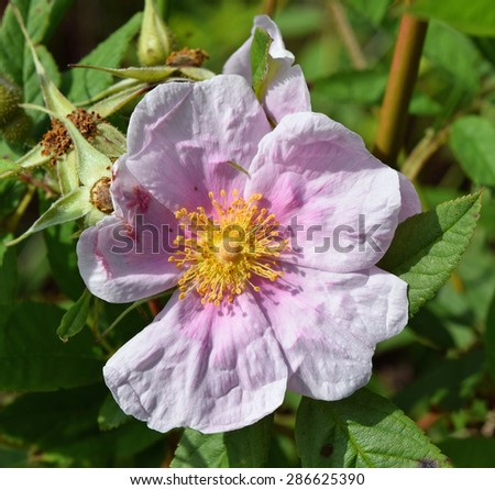 Swamp rose at the University of Mississippi Field Station - stock photo