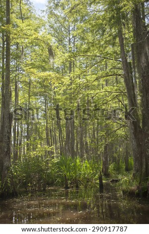Swamp scene with bald cypress trees and Spanish moss in New Orleans County, Louisiana