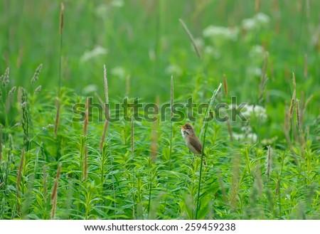 Swamp warbler - stock photo
