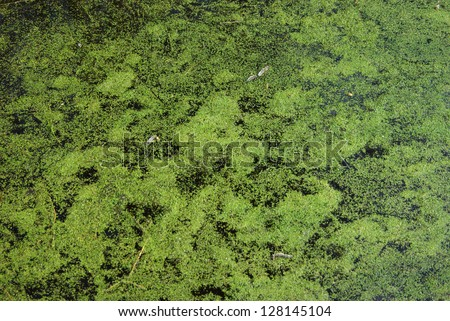 Swamp water in pond with duckweed as background - stock photo