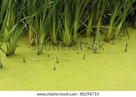 Swamp water with green reed - stock photo