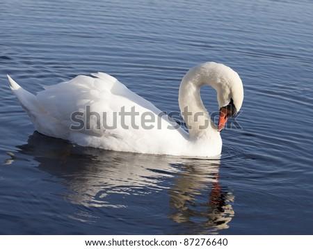 Swan. - stock photo