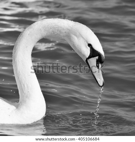 Swan and drops of water (black and white) - stock photo