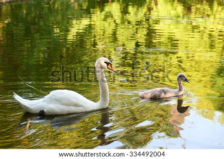 Great Day For Tundra Swans On Lake >> Canada Geese Wetlands Wildlife Trust Caerlaverock Stock Photo 489812674 - Shutterstock