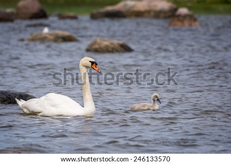 Swan and the chick - stock photo
