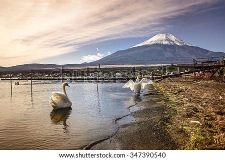 Swan at Lake Yamanaka, one of fuji five lake. - stock photo