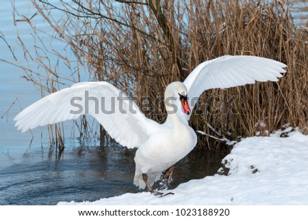 swan at the lake during winter with open wings