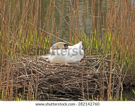 Swan breeds in his nest - stock photo