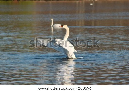 Swan Clapping