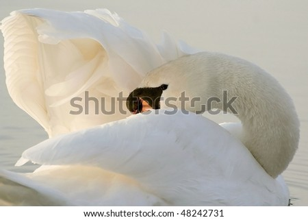 Swan clears its wings on the lake in the light of the rising sun. - stock photo