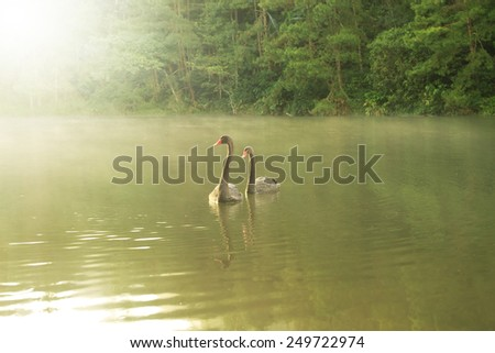 Swan couple swimming in the morning sunrise at Pang-ung, Pine forest in Mae Hong Son, Thailand