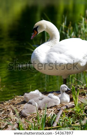 Swan cygnets on their nest with mother - stock photo