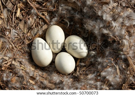 Swan eggs in nest