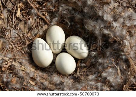 Swan eggs in nest - stock photo