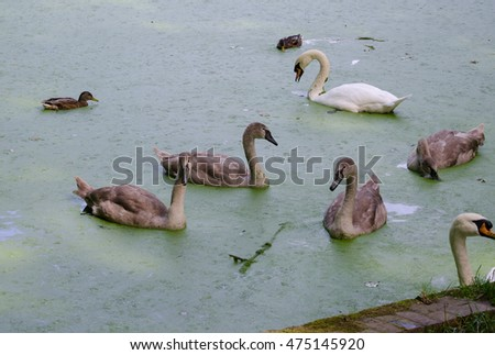 swan family, duck pond