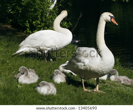 swan family on grass - stock photo